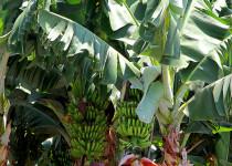 Банановые плантации в районе Пафоса