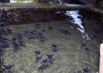 Черепаховая ферма в Косгоде