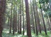 Секвойный лес в Лазаревском районе Сочи