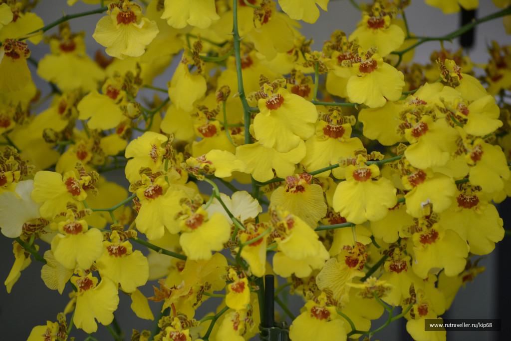 orhidei_30