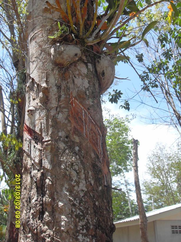гевея-дерево,чей сок используют для производста каучука и латекса