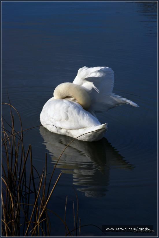 Кестхей. Балатон. Лебедь.