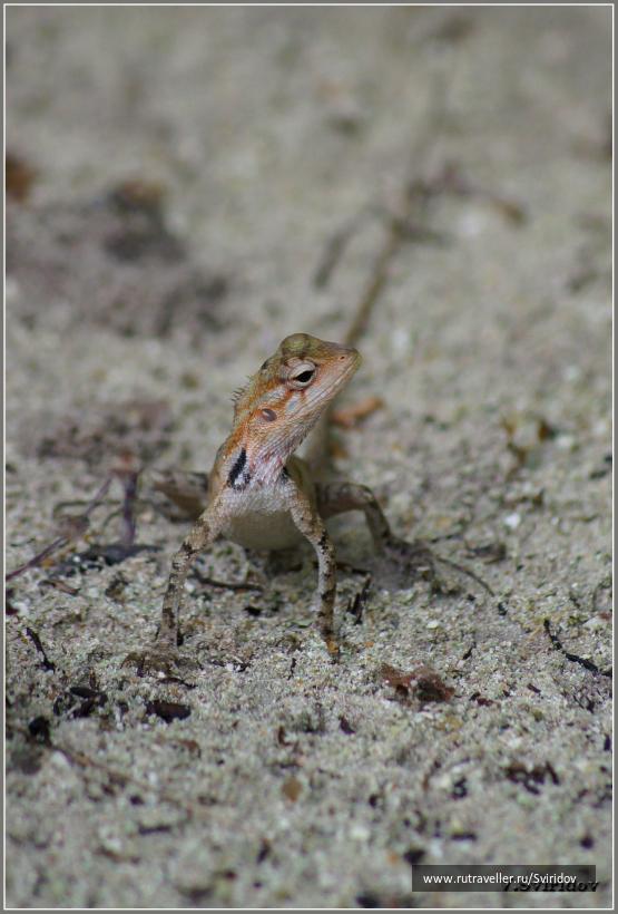 Мальдивы. Остров Бандос. Ящерка.