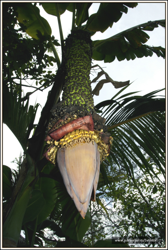 Банановая веточка.