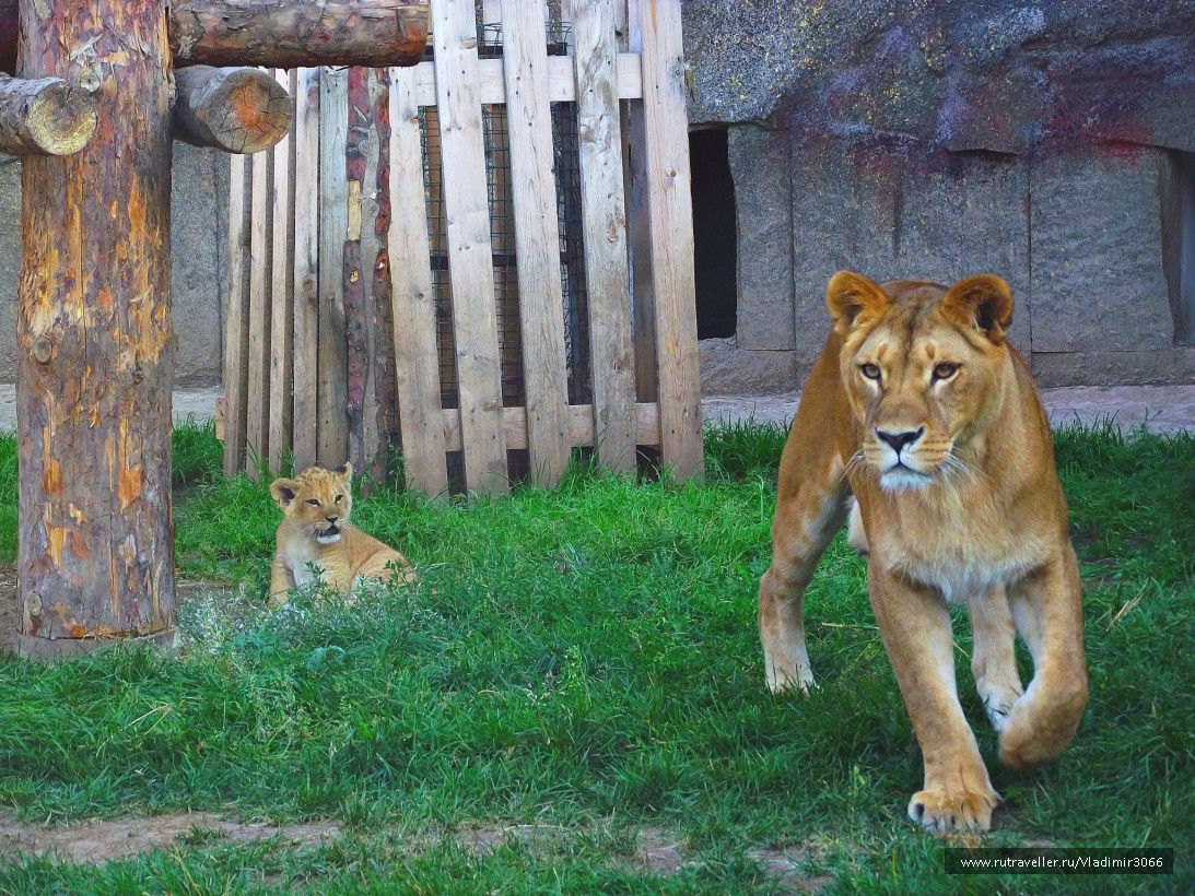 Львица Эсмиральда со львенком